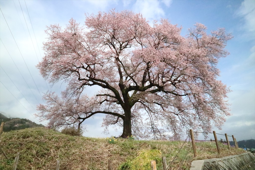 わに塚の桜_6