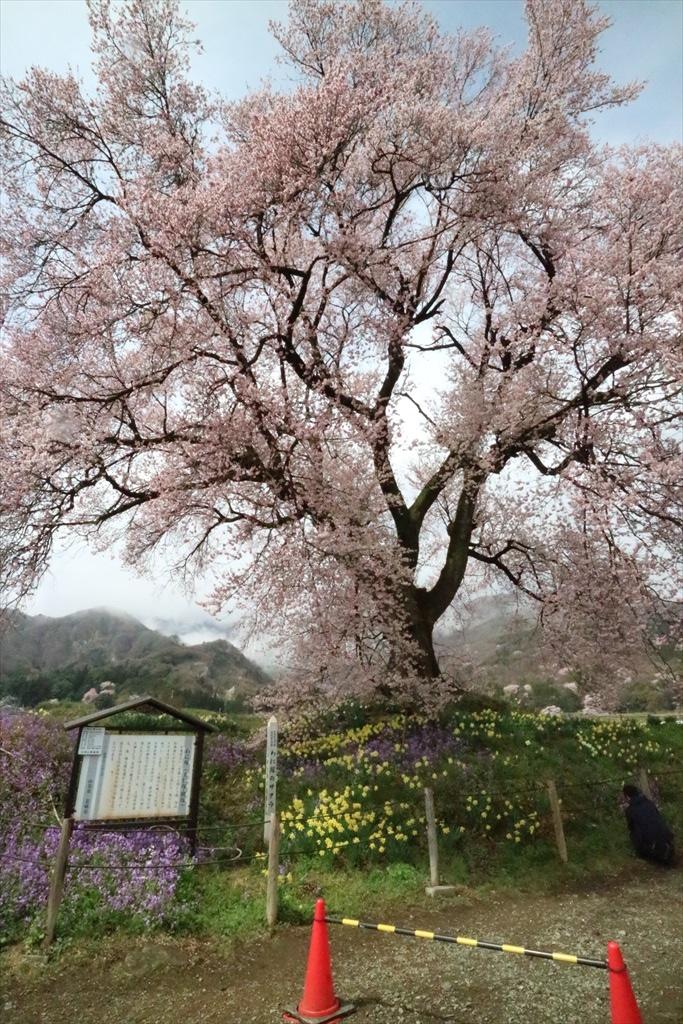 わに塚の桜_7
