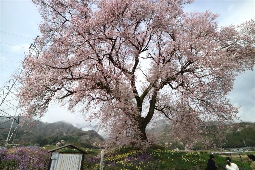 わに塚の桜_8