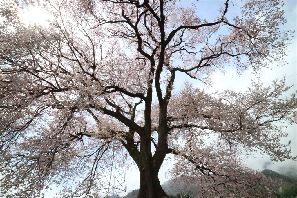 わに塚の桜_9