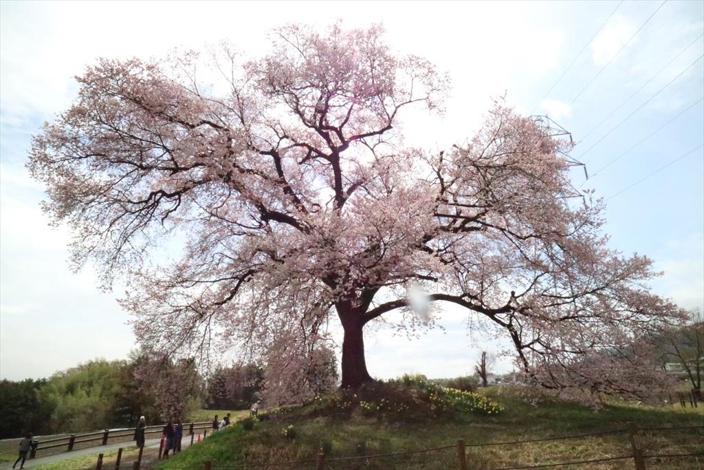 わに塚の桜_10