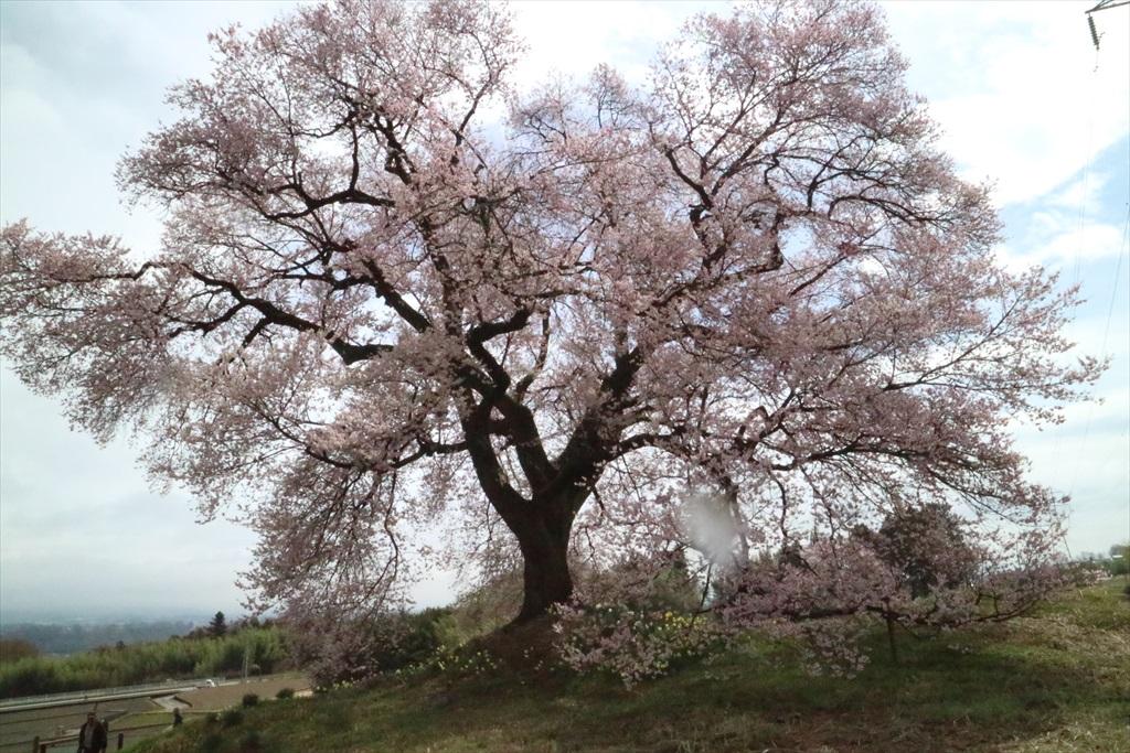 わに塚の桜_11