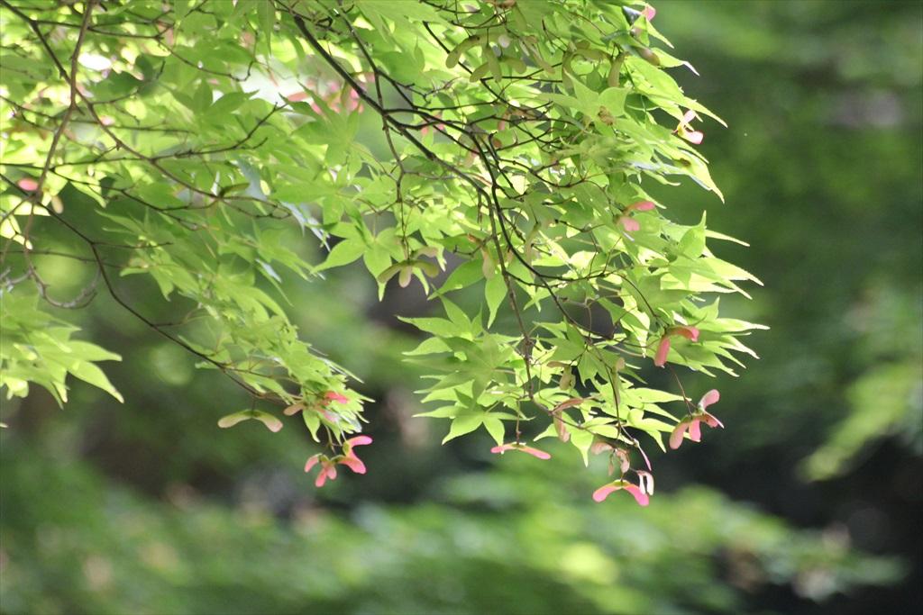 菖蒲田に面する通路には楓のプロペラが