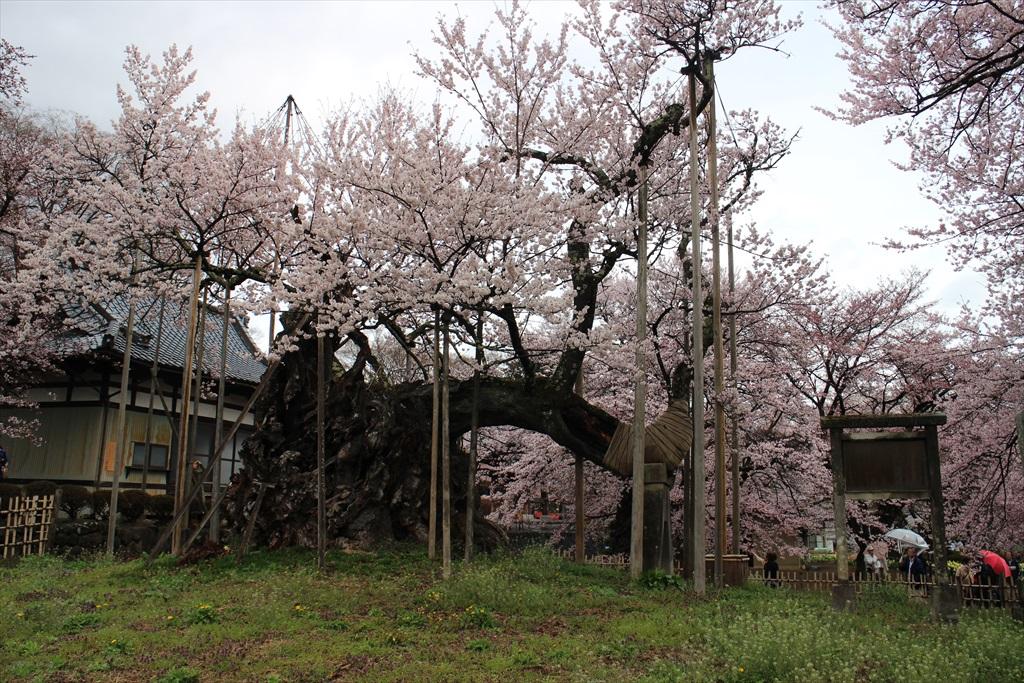 神代桜_1