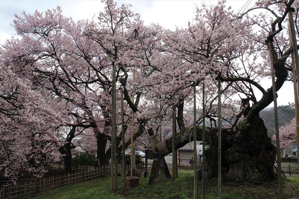 神代桜_2