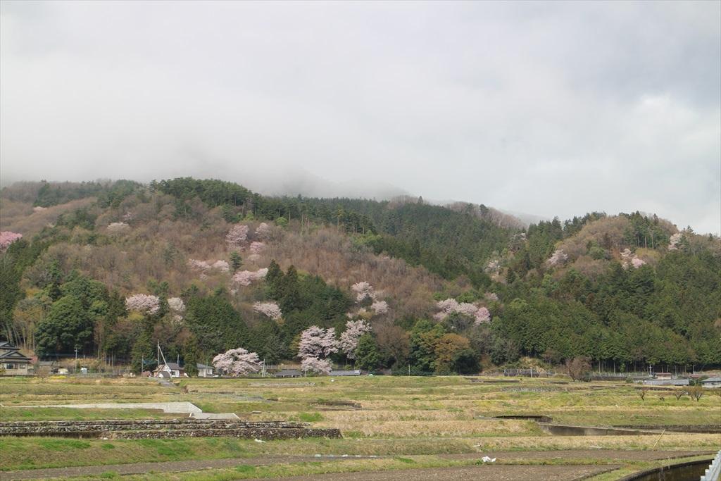 付近の山桜_1