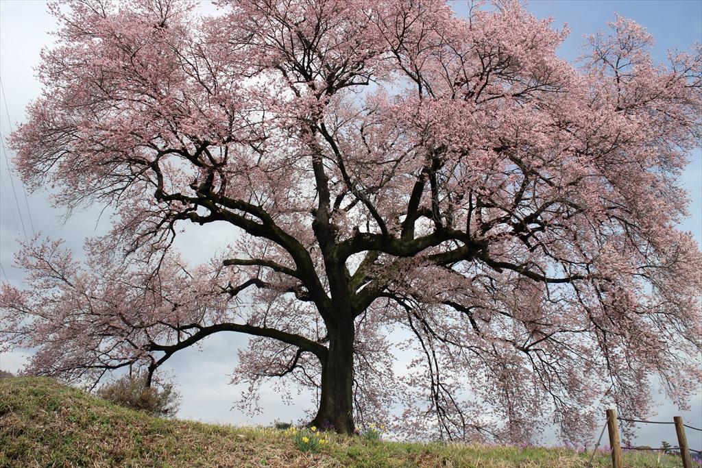 わに塚の桜_1