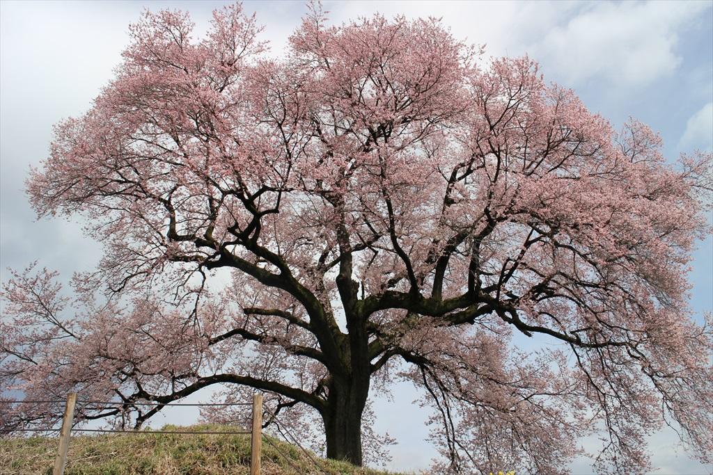 わに塚の桜_3