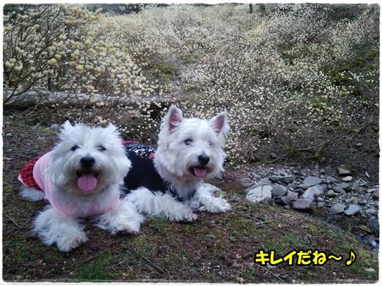 mitsumata2.jpg