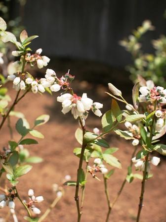 20160513ブルーベリー花