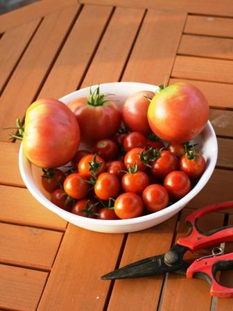 20160719トマト収穫