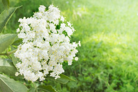 20160830elderflower.jpg