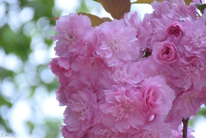 048-New-Emi-八重桜
