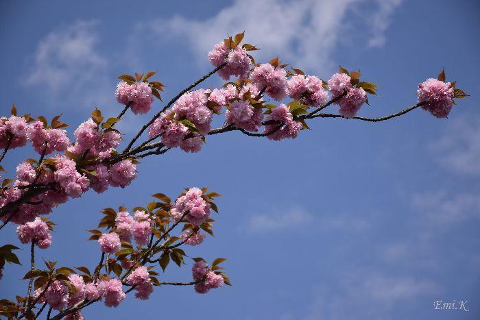 057-Emi-八重桜