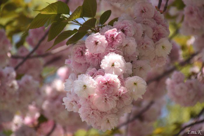 034-New-Emi-八重桜
