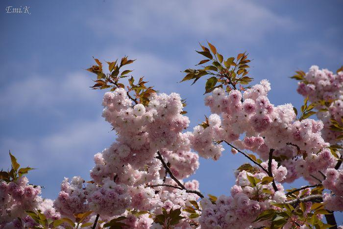 035-Emi-八重桜