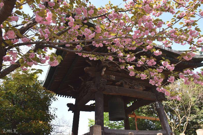 041-New-Em-i鐘楼堂-八重桜