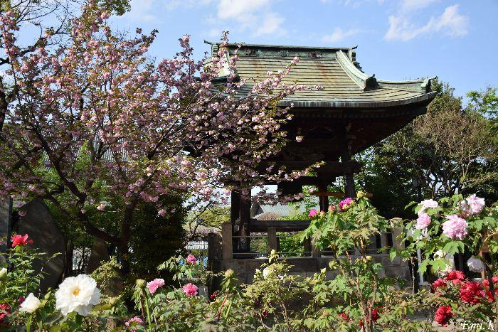095-Emi-鐘楼堂-八重桜-牡丹園