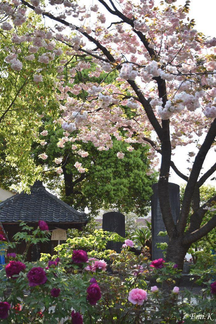 099-New-Emi-八重桜-牡丹園