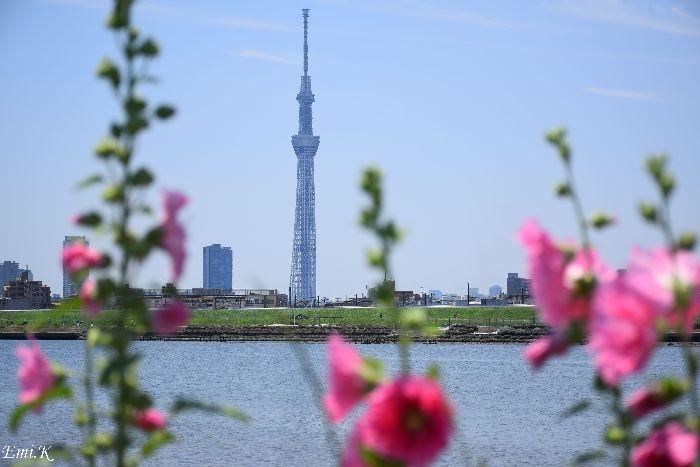 035-Emi-タチアオイ-スカイツリー