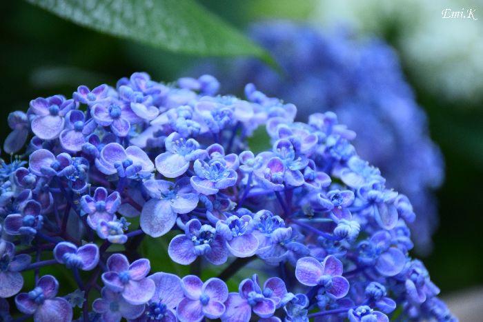 105-Emi-紫陽花