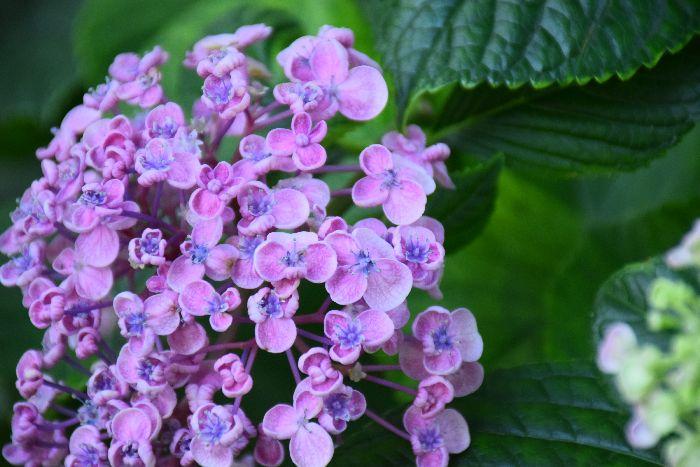 124-紫陽花