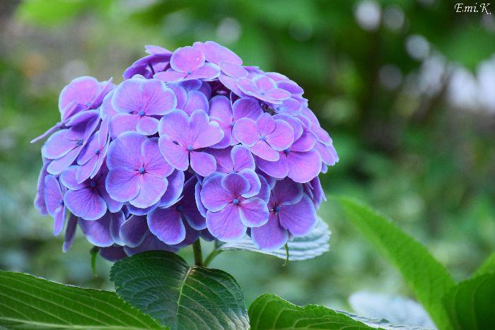 126-Emi-紫陽花
