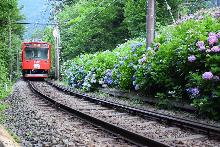 279-Emi-登山電車-紫陽花