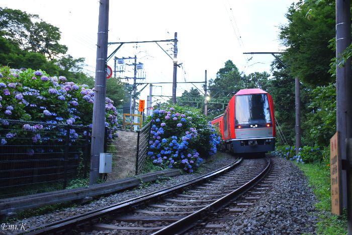 302-New-Emi-登山電車-紫陽花