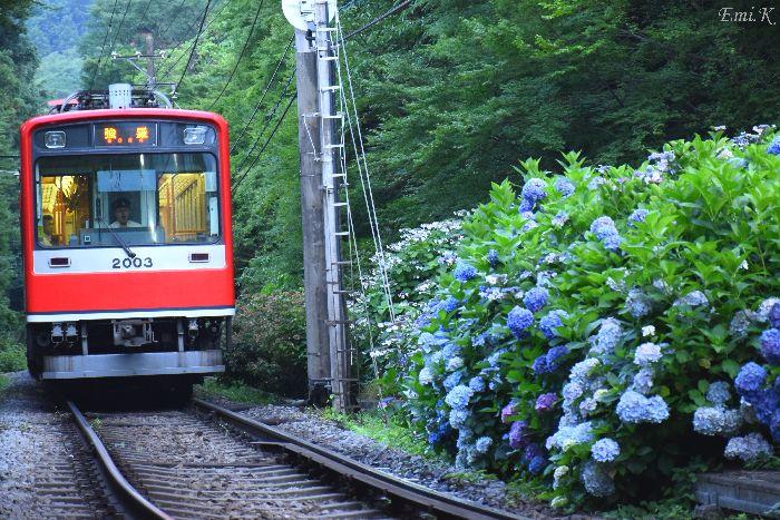 300-New-Emi-登山電車-紫陽花