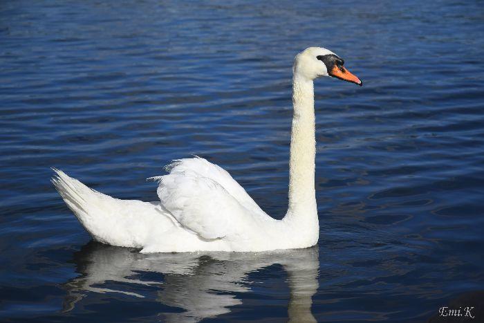 153-New-Emi-白鳥