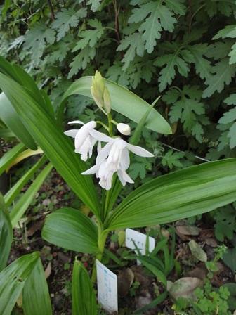 白花紫蘭②