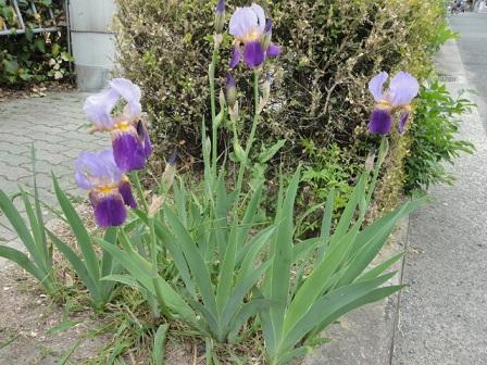 道端でたくましく咲くアヤメ
