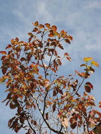 ハナミズキの実と来年の花芽