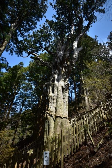 8樹齢三千年