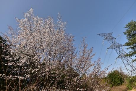 26鉄塔と桜