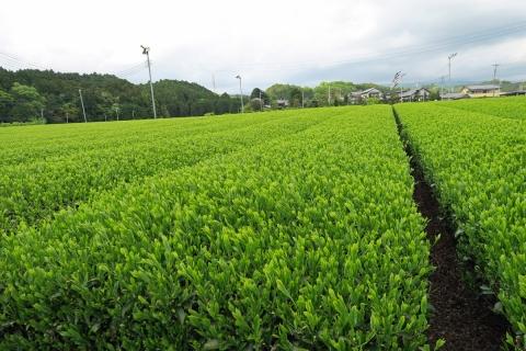 25茶畑の新芽