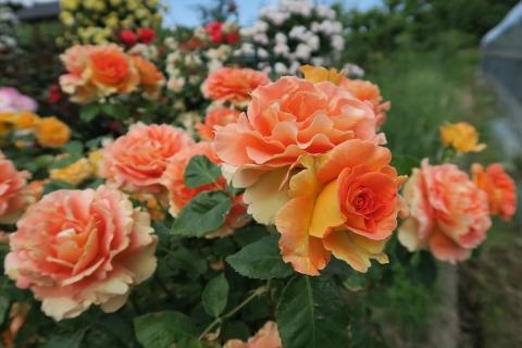 151日目農家のバラ