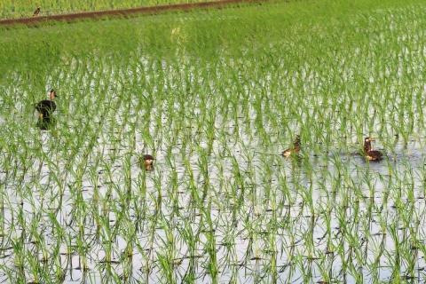 03水田の鳥たち