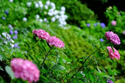03薬師池公園アジサイ