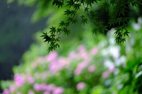 05a薬師池公園アジサイ