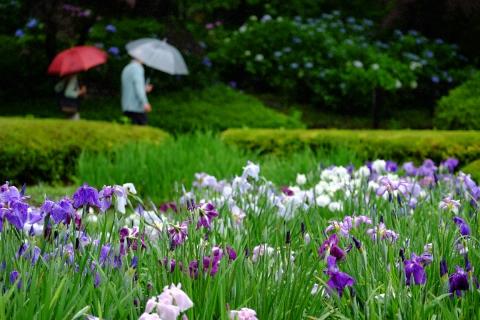 07薬師池公園菖蒲