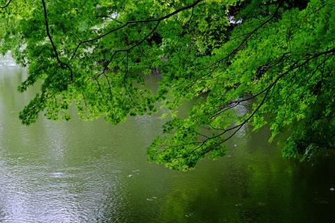 10薬師池公園池とモミジ