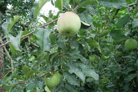 05阿南町リンゴ