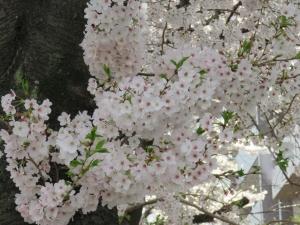 2016 4 8sakura2