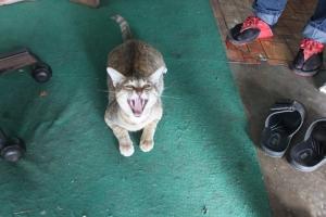 001スコタイ猫
