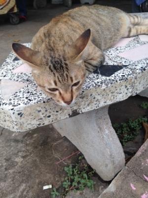 004スコタイ猫