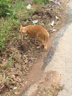 08スコータイホテル途中の猫