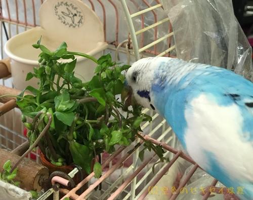 ハコベ美味しい  空色のセキセイ珠霞