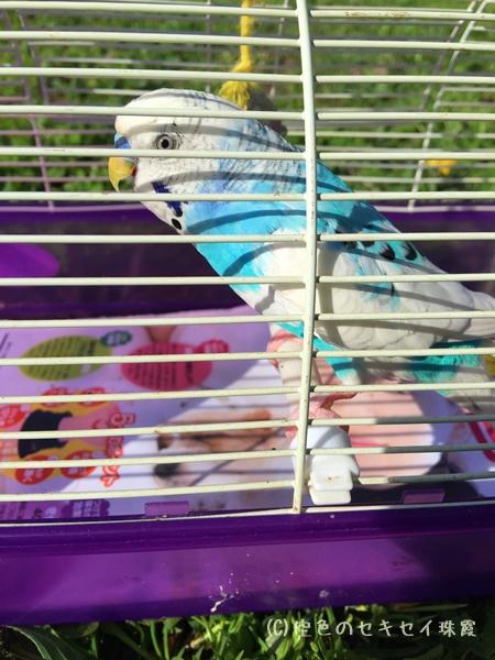 鳥の鳴き声に応える  空色のセキセイ珠霞